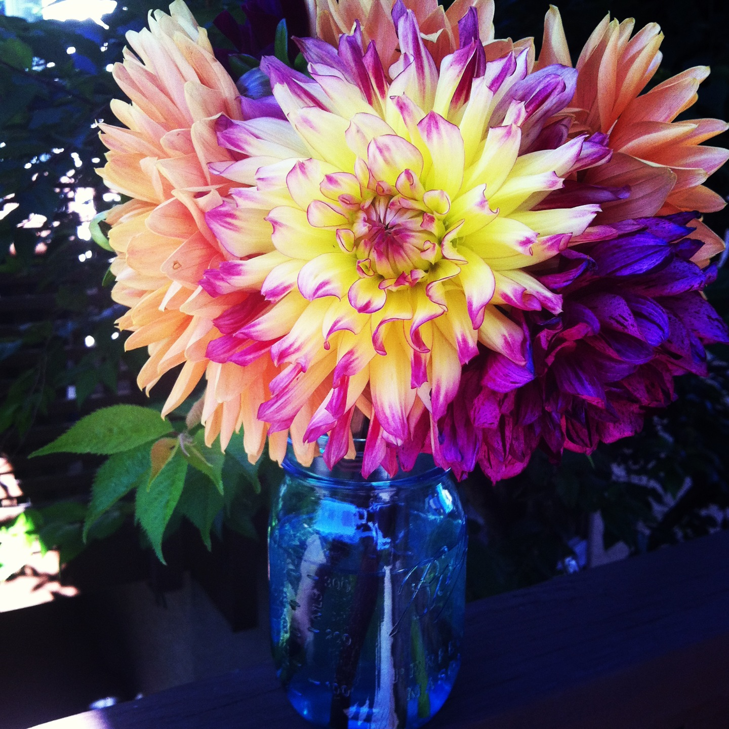 Dahlias in a blue glass mason jar