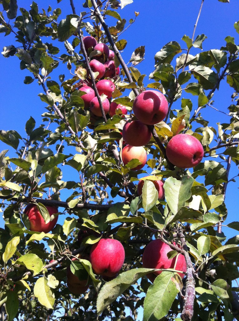 Apple Picking at Willow View Farm 10