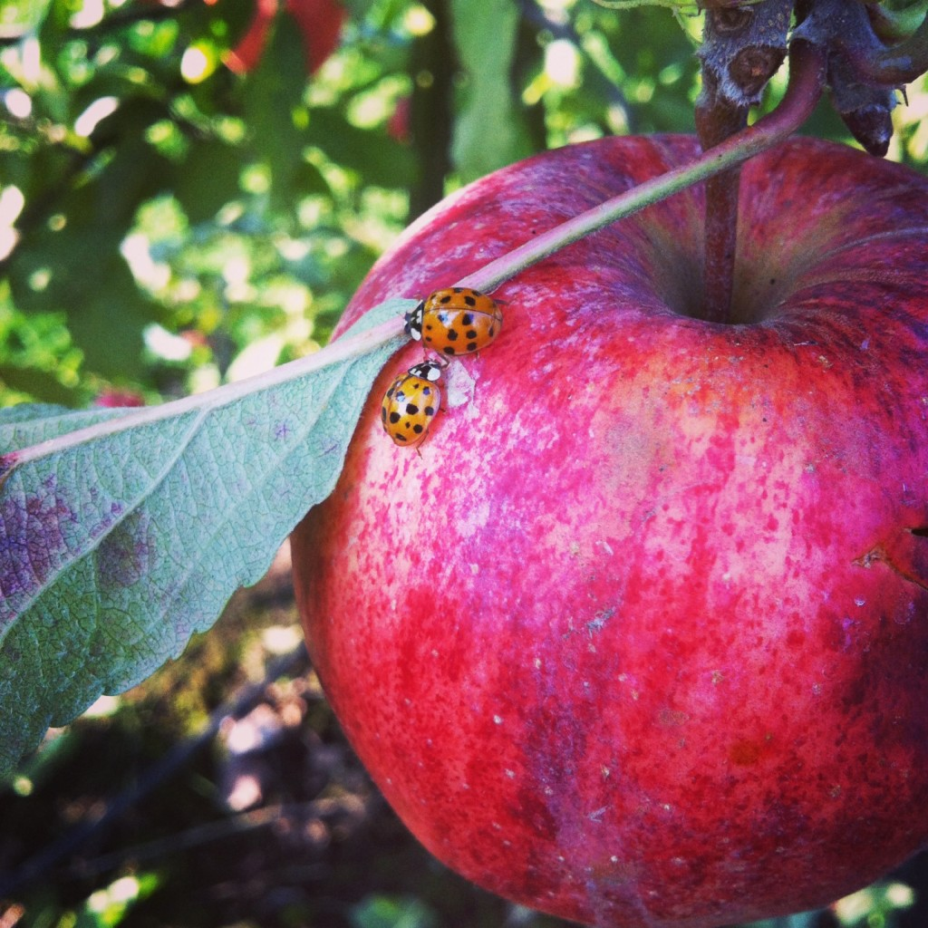 Apple Picking at Willow View Farm 9