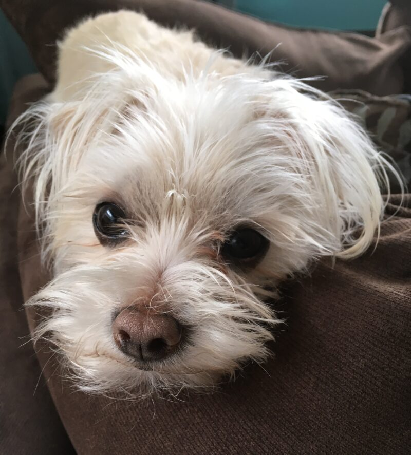 Mochi the Maltese Terrier Rescue Dog