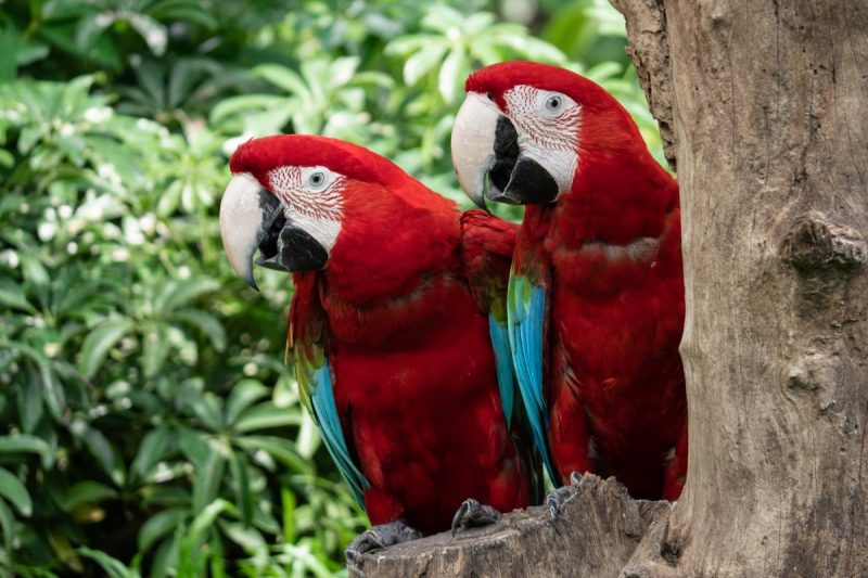 Two scarlet macaws sitting in a tree.