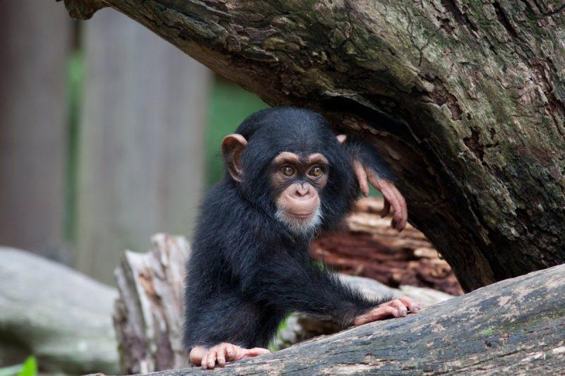 Adorable baby chimpanzee sitting on a log.