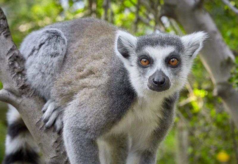 Lemur sitting in a tree.